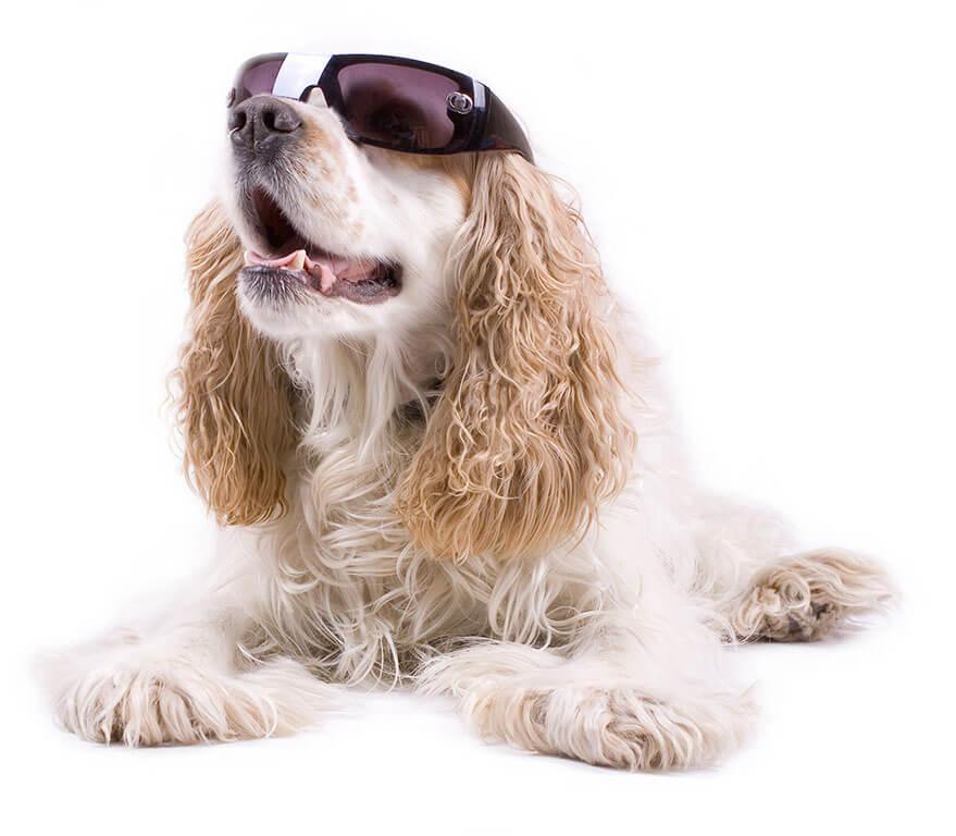 cocker-spaniel-dog-kennel-brooksville-spring-hill